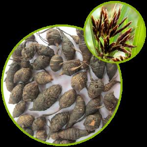 Cyperus Rhizome Extract