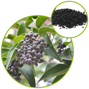 Ligustrum Fruit Extract