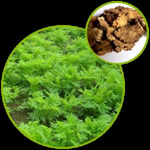 Ligusticum Wallichii Extract