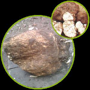 Poria Cocos Sclerotium Extract