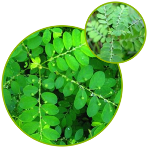 Phyllanthus Niruri (Bhumi Amla) Extract
