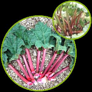 Rhubarb Rhizome Extract