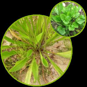 Plantain Plantago Lanceolata Extract