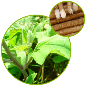 Burdock Seed Extract Power 40% Arctiin