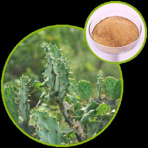 Cactus Extract Hoodia Gordonii