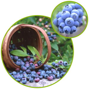 Blueberry Extract Anthocyanosides Anthocyanin