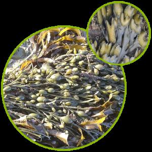 Bladderwrack Seaweed Kelp Extract