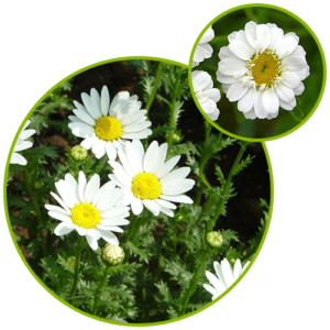 Feverfew Extract Parthenolide