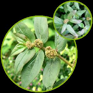Euphorbia Hirta Extract