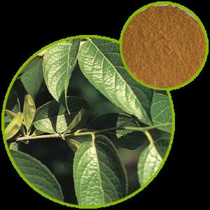 Eucommia Ulmoides Leaf Extract