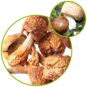 Agaricus Blazei Extract Power