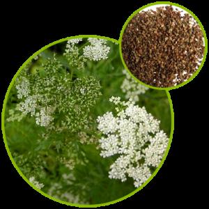 Common Cnidium Fruit Extract
